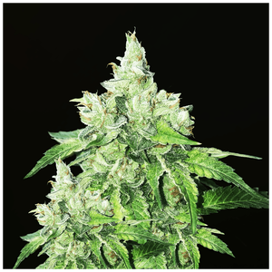 T.H. Seeds Citron Givré | Fem | Pack of 5