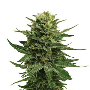 Royal Queen Blue Mystic | Fem | 3er