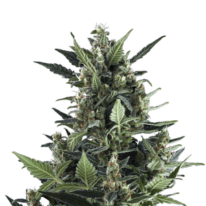 Royal Queen Blue Cheese | Auto | Pack of 3