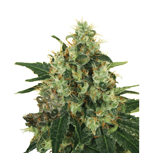 Royal Queen Medical Mass | Fem | 3er