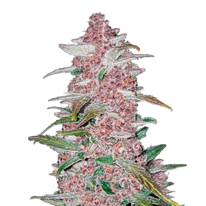 Fast Buds Blackberry | Auto | Pack of 10