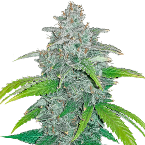 Fast Buds Blue Dreammatic | Auto | Pack of 3