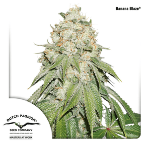 Dutch Passion Auto Banana Blaze | Auto | Pack of 100 - on...