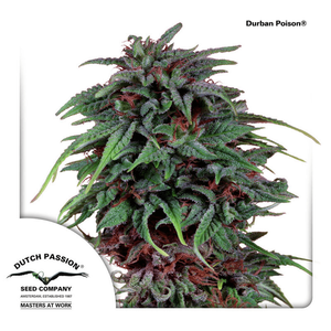 Dutch Passion Durban Poison | Reg | Pack of 10