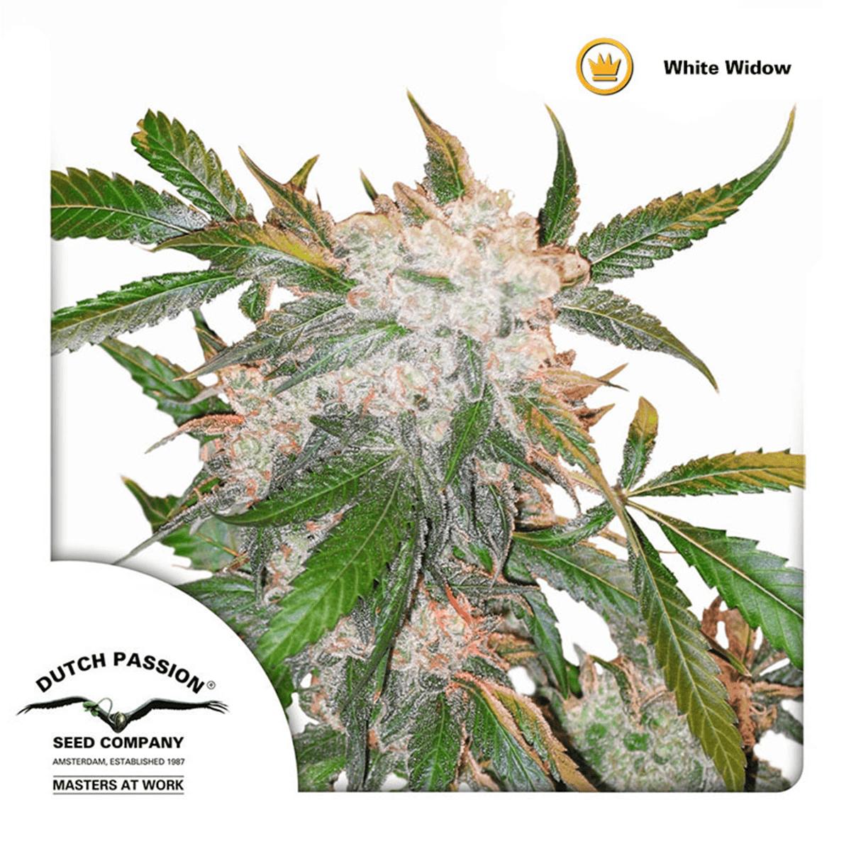 Dutch Passion / FEM 5 Pack / White Widow