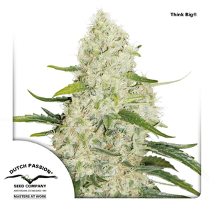 Dutch Passion / AUTO 3 Pack / Think Big