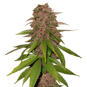 Fast Buds C4 | Auto | Pack of 3