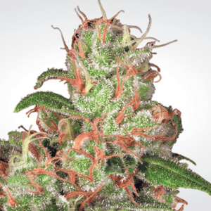 Paradise Seeds Auto Acid | Auto | Pack of 3