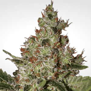 Paradise Seeds Acid | Fem | Pack of 3