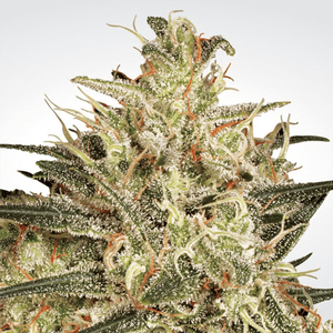 Paradise Seeds Atomical Haze | Fem | Pack of 3
