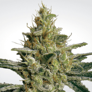 Paradise Seeds Allkush | Fem | Pack of 3
