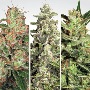 Paradise Seeds Auto Collection Pack # 2 | Fem | Pack of 6