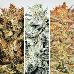 Paradise Seeds Indica Champions | Fem | Pack of 6