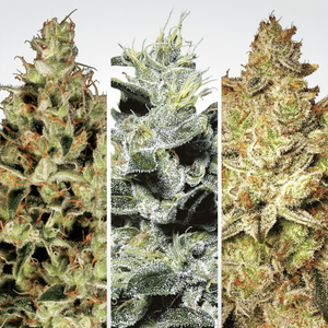 Paradise Seeds Sativa Champions | Fem | Pack of 6