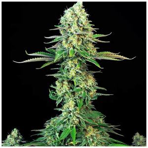 T.H. Seeds Bubblegum | Fem | Pack of 10